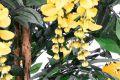 Umelá kvetina - Zlatý dážď 190 cm